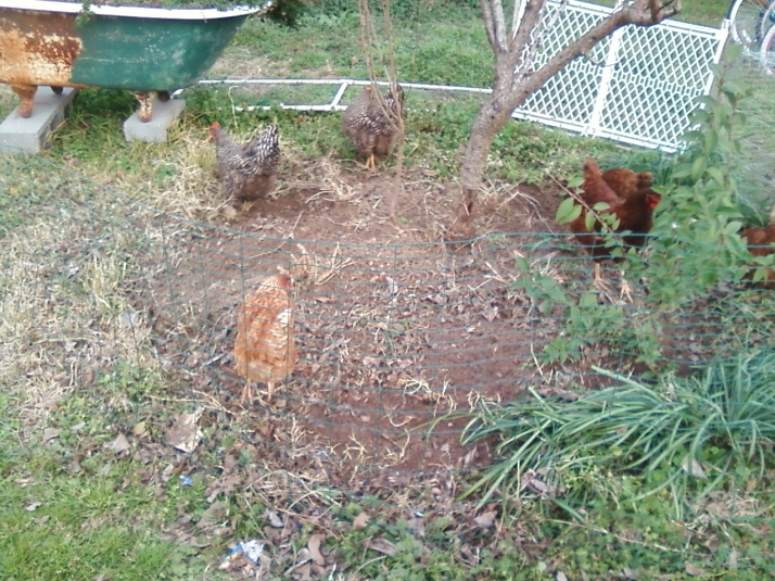 Chickens scratching under a Peach tree
